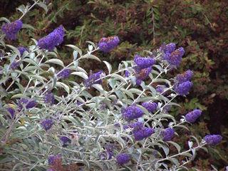 Buddleia bleu violacé