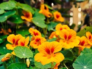 Capucine en fleurs