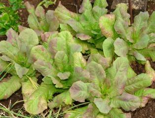 Carence en phosphore sur salades