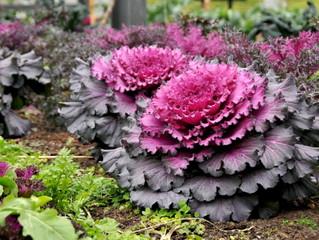 Feuillage violet et rose pour ces choux