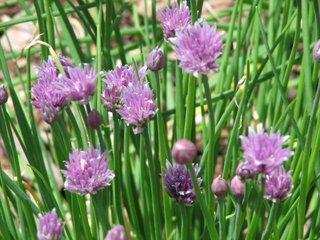 Ciboulette : une herbe fine indispensable