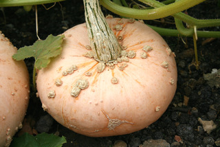 Courge 'Giraumon Galeux d'Eysines'