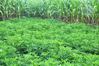 Culture d'arachide et maïs en Afrique