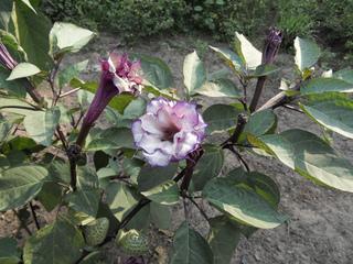 Datura metel : plante herbacée, fleurs dressées