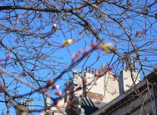Débourrement de cerisiers du Japon en ville