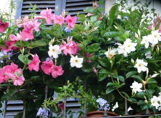 Dipladenia rose et blanc sur un balcon
