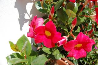 plante grimpante dipladenia