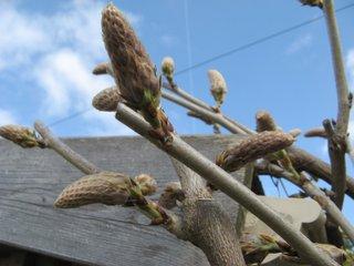 Pousse des bourgeons de glycine après la taille
