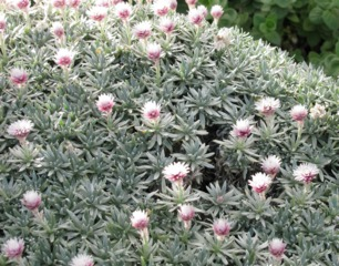 Helichrysum arwae