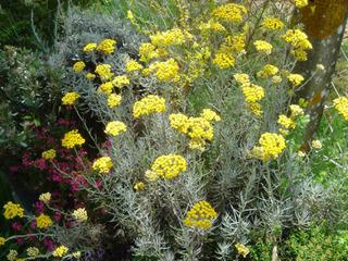 Helichrysum italicum, immortelle