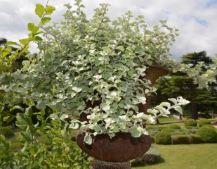 Helichrysum petiolare cultivée en pot