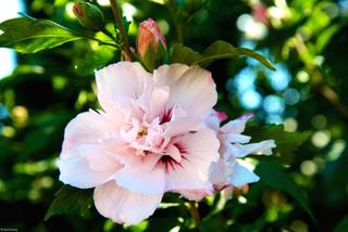 Hibiscus syriacus à fleurs doubles