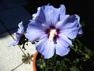 Hibiscus syriacus en pot