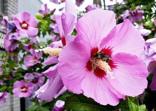 Hibiscus syriacus à fleurs roses