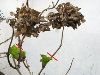 Suppression des fleurs fanées sur l'hortensia