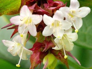 Leycesteria, arbre aux faisans - Fleurs