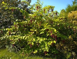 Leycesteria, arbre aux faisans