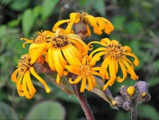 Fleurs de Ligulaire - Ligularia dentata