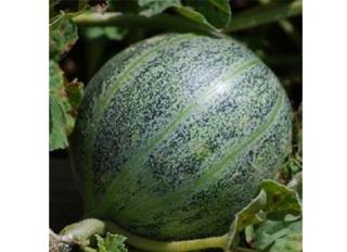 Melon Ananas d'Amérique à Chair Rouge