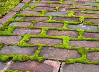 Mousse entre les briques d'une allée