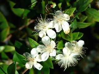 Fleurs de myrte