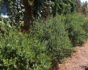 Myrte dans un jardin méditerranéen