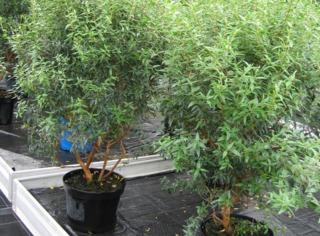 Myrte en jardinerie