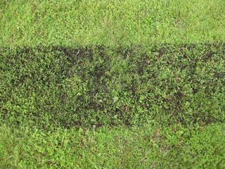 Bande de pelouse ayant reçu du compost