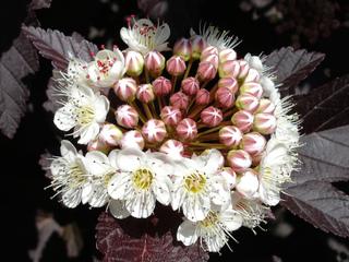 Physocarpe à feuille d'obier : fleurs
