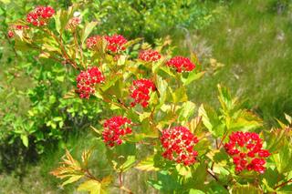 Physocarpe à feuilles d'obier : fruits