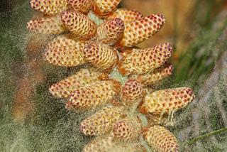 Pollen de pin (non allergisant)