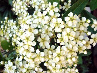 Fleurs de pyracantha
