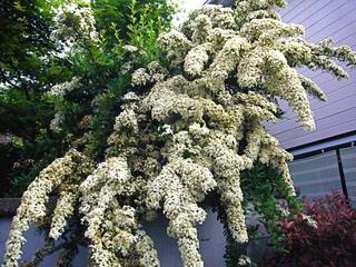 Pyracantha en fleurs