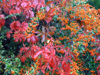 Pyracantha et parthenocissus en automne
