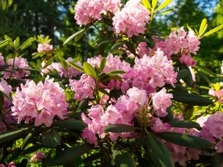 Rhododendron en fleurs