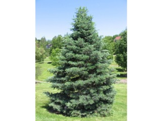 Sapin (Abies concolor)