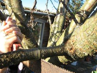 Savoir utiliser la scie arboricole pour couper une branche