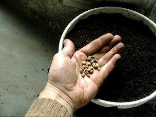 Semis de graines de capucine