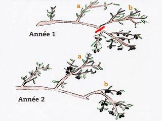 Taille de fructification de l'olivier