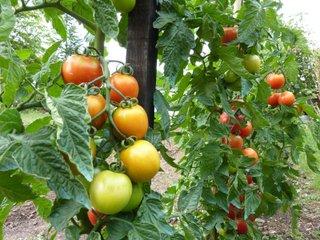 Tomates au potager