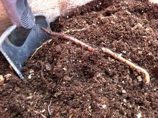 Ver de terre dérangé par le travail du sol