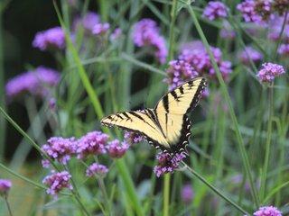 Papillon sur une verveine de Buenos Aires