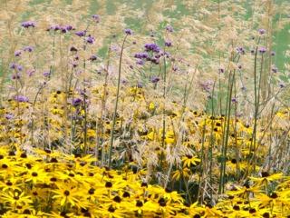Verveine de Buenos Aires (mauve), rudbeckia (jaune), graminée