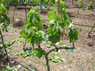 Taille de la vigne - Planter un pied de vigne ...