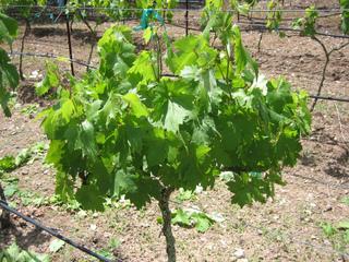 Vigne avant sa taille de début d'été