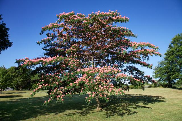 Les arbres sieste for Taille d un albizia