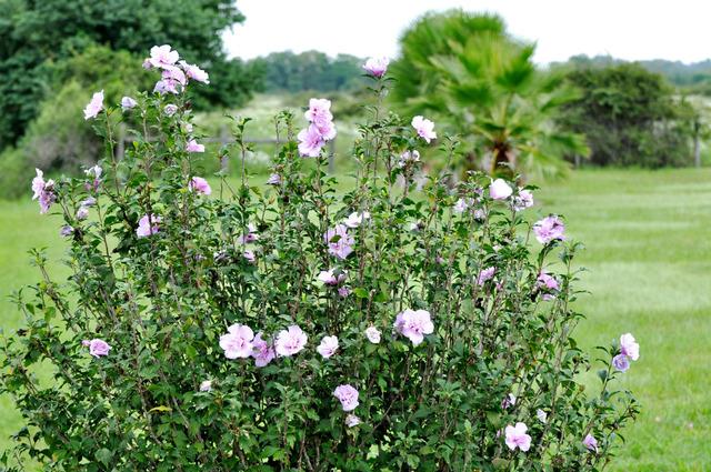 Hibiscus syriacus - althéa - mauve en arbre