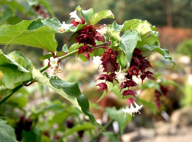 Arbre aux faisans : un bel arbuste méconnu