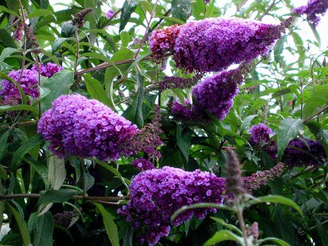 Buddleia - buddleja - Arbre aux papillons