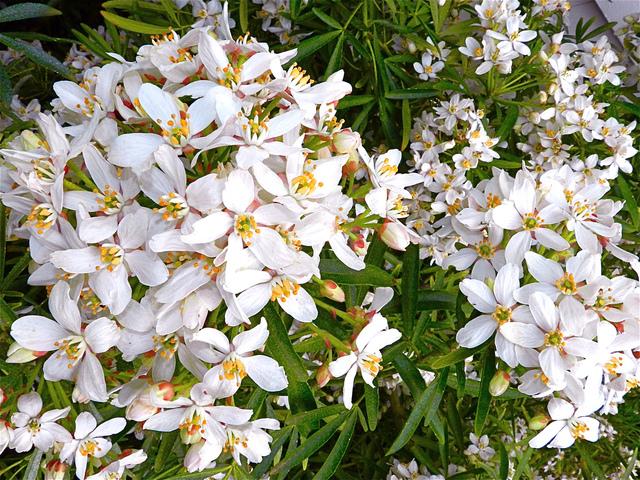 Oranger du Mexique : un enchantement de fleurs et de parfum